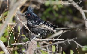 Picture branches, bird, beak, black waxwings