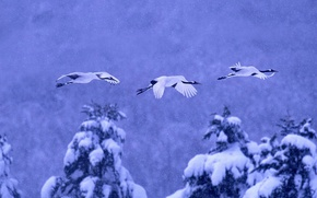 Wallpaper winter, snow, birds, Japan, Hokkaido, Japanese crane, National Park akan