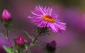 Picture flower, macro, petals, Astra, bokeh