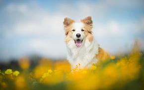 Wallpaper bokeh, The border collie, dog