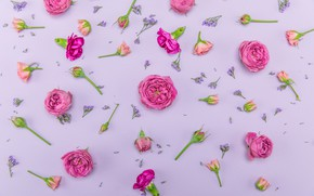 Picture flowers, background, Roses, buds