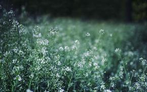 Picture greens, grass, macro, flowers, shepherd's purse