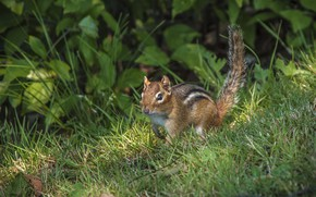 Picture grass, tail, animal, Chipmunk, rodent