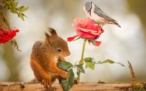 Picture animals, flower, nature, berries, bird, rose, protein, journal, Rowan, rodents