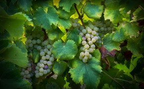 Picture foliage, grapes, vineyard, leaves, bunches, the vineyard