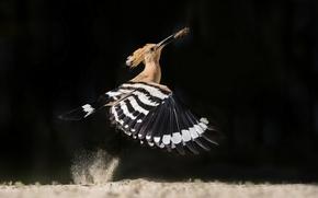 Wallpaper bird, the rise, catch, Hoopoe