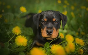 Wallpaper dandelions, puppy, Rottweiler, Frelka, dog