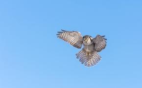 Picture the sky, bird, wings, hawk owl