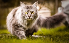 Wallpaper cat, grass, tail, fluffy, walk, nature, grey, cat, yellow eyes
