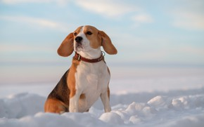 Picture snow, dog, ears, Beagle