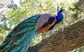 Picture nature, tree, bird, peacock