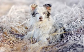 Wallpaper winter, frost, grass, look, snow, nature, portrait, dog, lies, Australian shepherd, Aussie