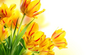 Picture leaves, tulips, buds, yellow, white background, bokeh