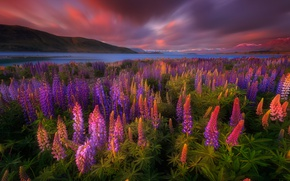 Picture flowers, lake, spring, New Zealand, lupins, Tekapo