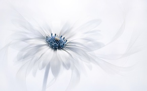 Wallpaper Osteospermum, petals, white background, Osteospermum