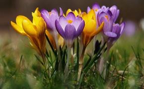 Picture spring, crocuses, bokeh, saffron