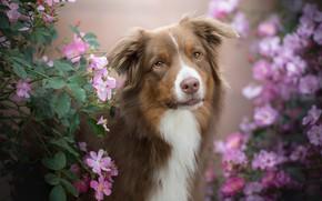 Picture look, face, flowers, portrait, dog, briar, the bushes, bokeh, Australian shepherd, Aussie