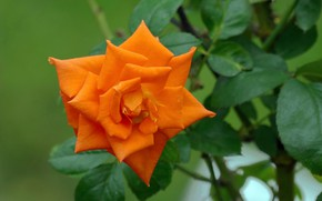 Picture Rose, Flower, Flowering