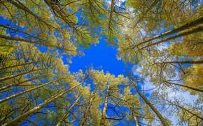 Picture autumn, the sky, trees, Colorado, USA, aspen, Aspen