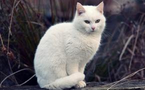 Wallpaper cat, grass, white, cat, bokeh