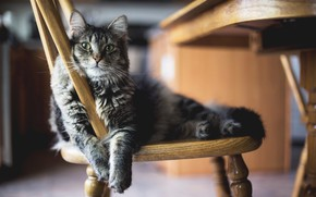 Picture Cat, Wool, Chair, Stay, Animal