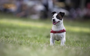 Picture dog, bokeh, doggie, Jack Russell Terrier