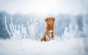 Picture winter, frost, field, look, snow, nature, stems, dog, red, puppy, serious, gold, walk, sitting, light …