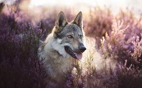Picture look, face, Heather, a hybrid of dog and wolf, Volkosob