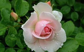 Picture drops, Rosa, rose, rosebud