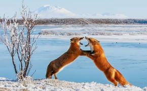 Wallpaper winter, snow, Fox, grin