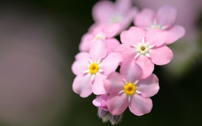 Picture macro, background, pink, forget-me-nots