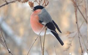 Picture winter, macro, bird, food, branch, bullfinch