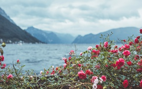 Picture flowers, mountains, Bush, roses