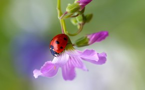Picture flower, macro, ladybug, insect