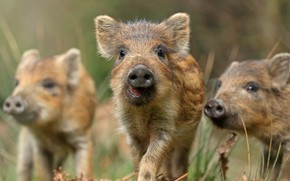 Picture summer, nature, boars