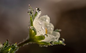 Picture flower, drops, macro, nature, Rosa, background