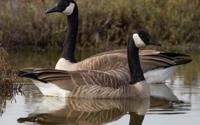 Picture bird, beak, duck, neck, the Canada goose