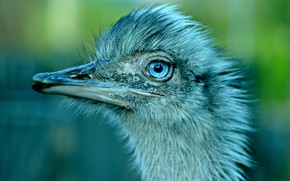 Picture look, green, background, blue, bird, portrait, ostrich, blue eyes, face, chick, shaggy, ostrich