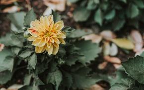 Picture flower, Bush, petals, Bud