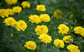 Picture flowers, yellow, nature, flowering, marigolds