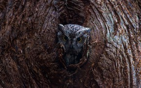 Picture eyes, tree, owl