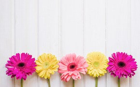 Wallpaper pink, yellow, pink, chrysanthemum, yellow, spring, flowers, flowers