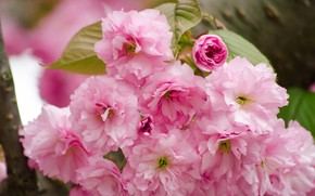 Picture flowers, pink, branch, spring, blossom, cherry, wild cherry