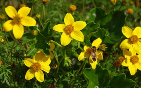 Picture Wasp, Yellow flowers, OSA, Yellow flowers