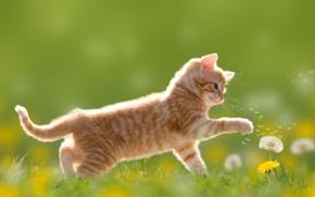 Wallpaper meadow, dandelions, kitty