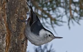Picture tree, bird, beak, the Carolina nuthatch