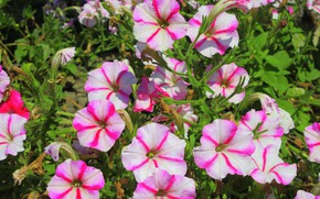Picture summer, flowers, striped, petunias, mamala ©