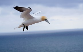 Picture flight, nature, bird, Gannet