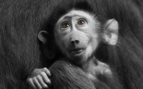 Picture baboon, pavian, animal