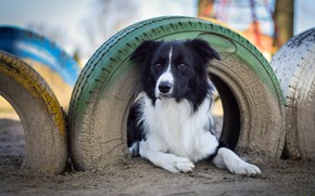 Picture earth, lies, tires, bokeh, The border collie